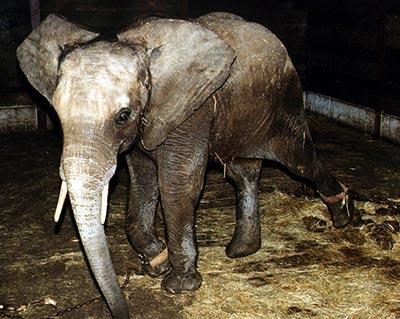 Les animaux des cirques itinérants américains bientôt protégés par la loi