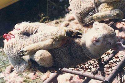 http://www.massacreanimal.org/img/mulesing02.jpg